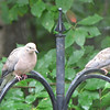 Doves On Top Of Feeders