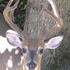 Male Deer Talking to Me