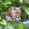 Squirrel Eating Black-eyed Susan Leaves