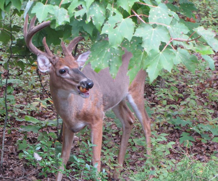 Male Deer Eating Apple Thrown Out