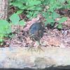 "Green Heron Visits Our 5x10 <a href=""http://donnawatkins.smugmug.com/gallery/8755575_beoBW/1/579399052_bCocB"">Backyard Pond</a> 6-28-09"