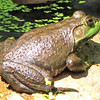 Female Bullfrog on Rock at Our Pond