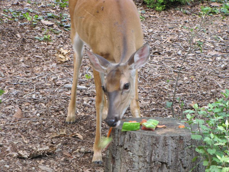 Deer Eating Watermelon Chunks