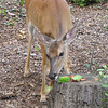 Deer Eating Watermelon Chunks