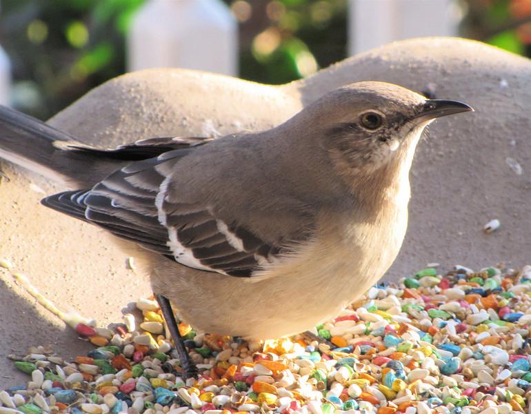 Northern Mockingbird at Porch Feeder