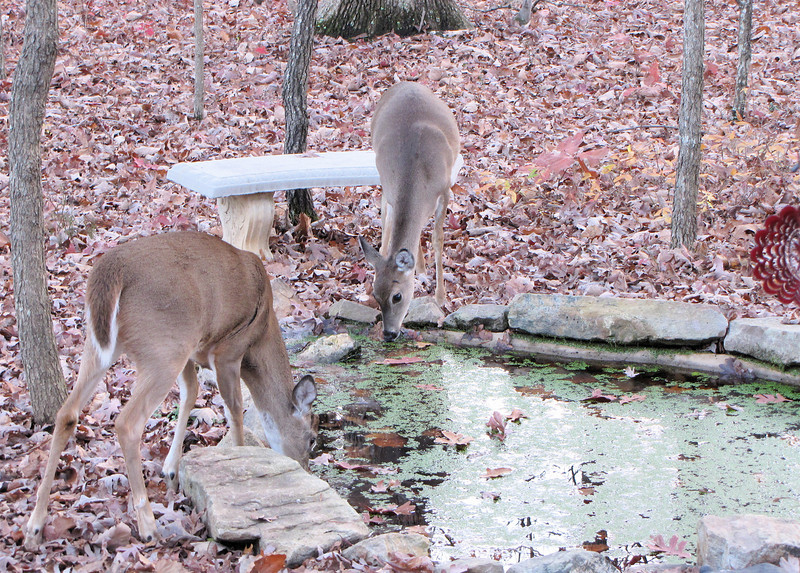 Two Young Deer Drinking From The Pond