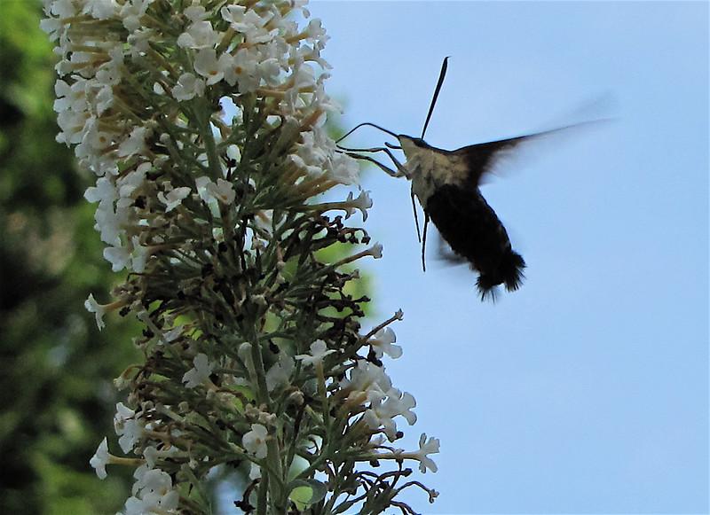 Hummingbird Clearwing Moth Feeding at Butterfly Bush