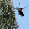 Hummingbird Clearwing Moth Feeding at Butterfly Bush