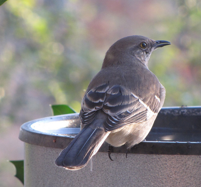 Northern Mockingbird at Birdbath