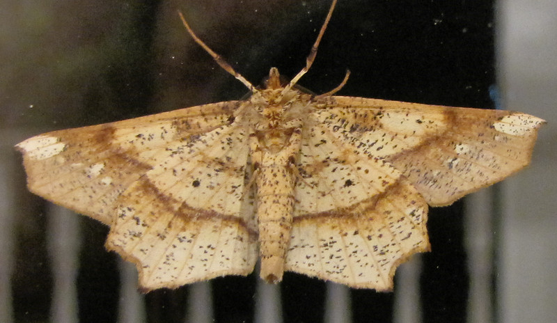 Underside of Moth on Dining Room Window