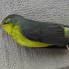 Canada Warbler Died on Deck
