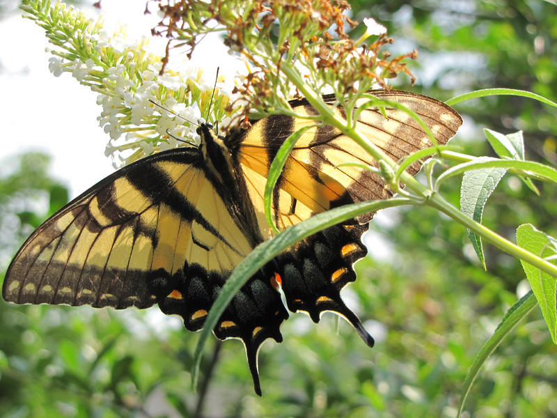 Eastern Tiger Swallowtail with Morning Sunshine on Butterfly Bush