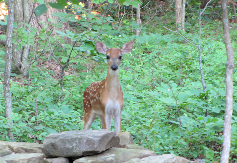 Fawn Behind The Pond