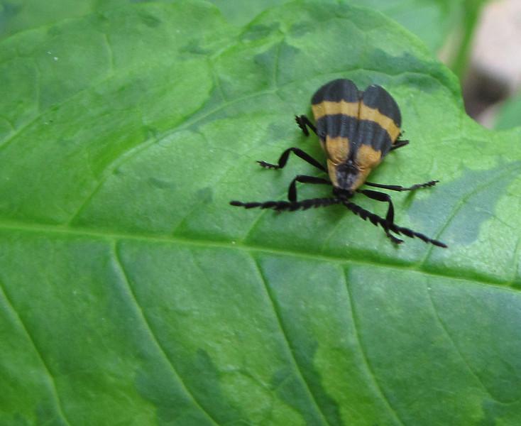 Banded Net-winged Beetle on Poke Weed - Good Bug
