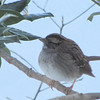 Snowy Day White-throated Sparrow