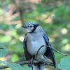 Blue Jay Fledgling
