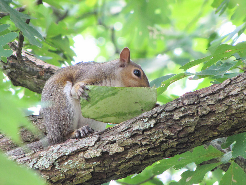 Squirrel With Watermelon Slice in Tree