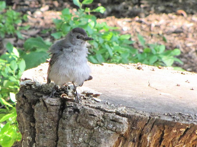 Juvenile Gray Catbird