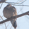Snowy Day Mourning Dove