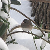 Snowy Day for Junco
