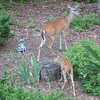 Doe and Young Fawn