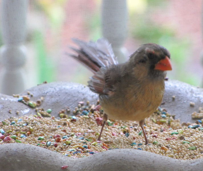 Molting Female Cardinal
