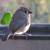 Tufted Titmouse at Heated Birdbath