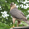 Cooper's Hawk on Screened Porch Roof at Corner of Deck