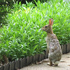 Standing Bunny Sniffing Coreopsis