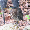 "Green Heron Visits Our 5x10 <a href=""http://donnawatkins.smugmug.com/gallery/8755575_beoBW/1/579399052_bCocB"">Backyard Pond</a> 6-28-09"