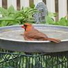 Male Cardinal In Birdbath