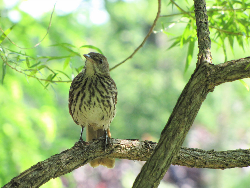 Brown Thrasher in Willow Tree