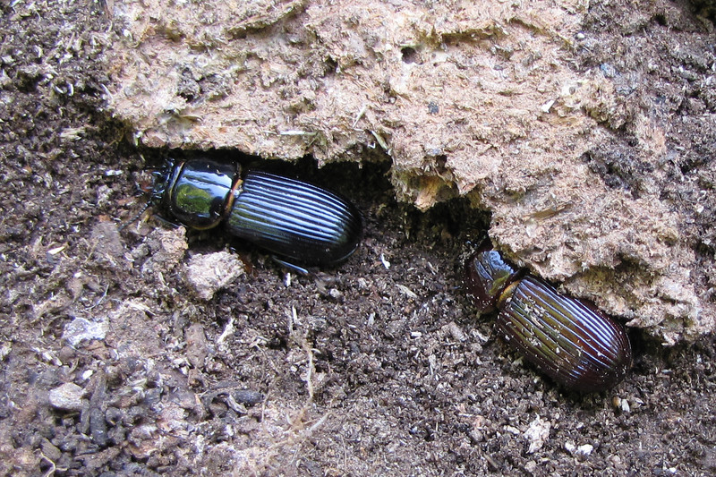 Patent Leather Beetles Uncovered - They're Scrambling to Hide