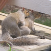 Mr. Squirrel Hugging Mrs. Squirrel