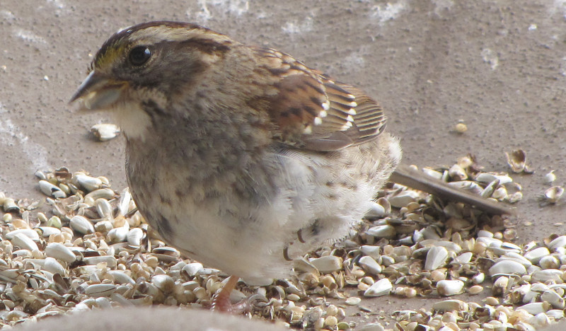 Injured White-throated Sparrow