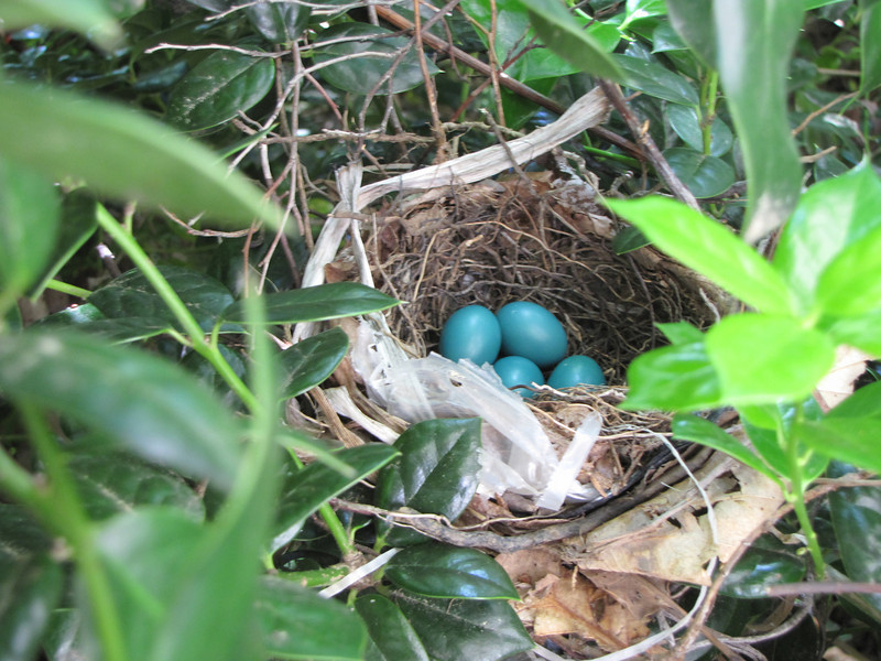Four Gray Catbird Eggs In Nest In Front Of Garage
