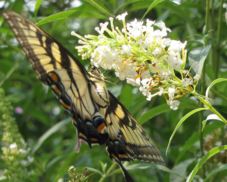 Eastern Tiger Swallowtail Underside on Butterfly Bush