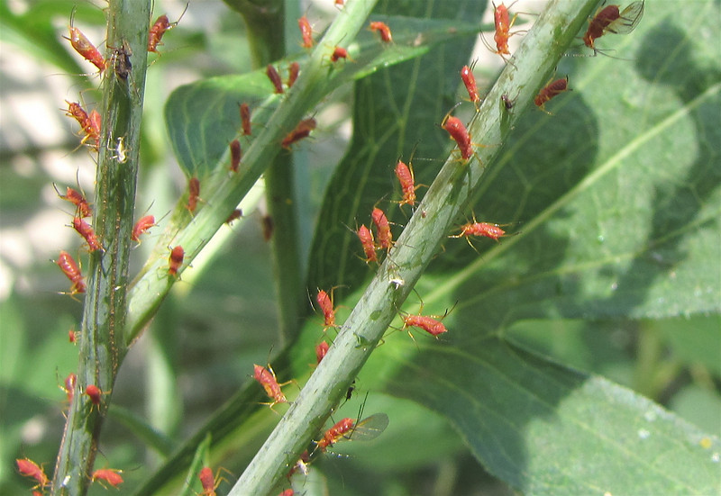 Red Aphids on Green-headed Coneflower - Ladybugs took care of them.