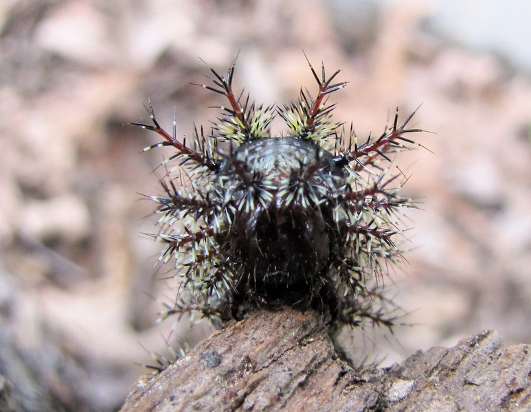 Front View of Buck Moth Caterpillar