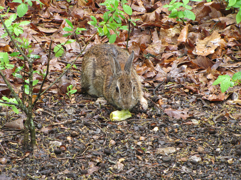 Rabbit Eating Apple Core