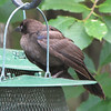 Juvenile Crow at Feeders