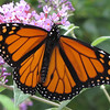 Male Monarch Butterfly - Two Black Dots on Hind Wings Indicate Male