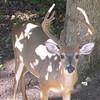 Male Deer in Dappled Woodland Light