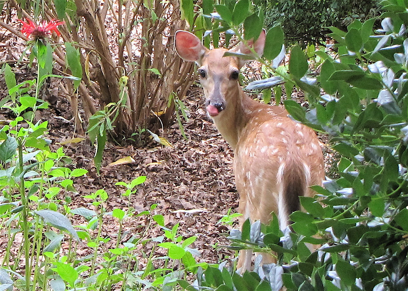 Salad Green Are Simply Delicious Says The Baby Deer