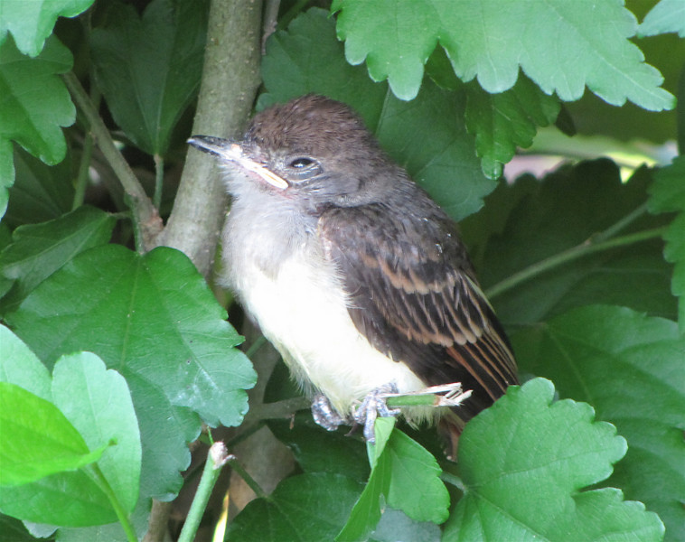 Baby Flycatcher