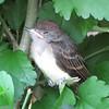 Baby Flycatcher