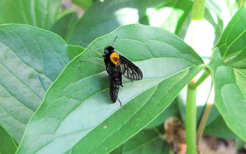 Golden-backed Snipe Fly on Peonies (Chrysopilus thoracicus)