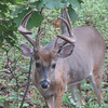 Male Deer By The Deck