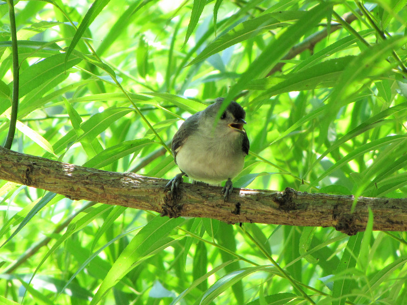 Juvenile Tufted Titmouse