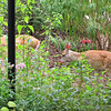 Welcome To My Garden Deer Babies - Two Fawns Following Mama